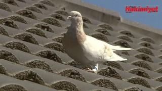 ABD'den uçup Pasifik Okyanusu'nu geçerek Avustralya'ya ulaşan güvercin itlaf edilecek